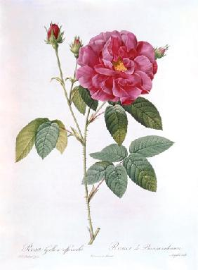 Redout�, Pierre Joseph : The rose Rosa Gallica Offi...