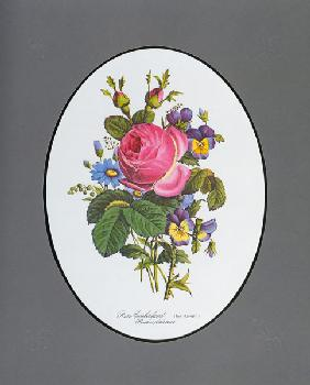 Rose of Cumberland, pansy and Zinerarie