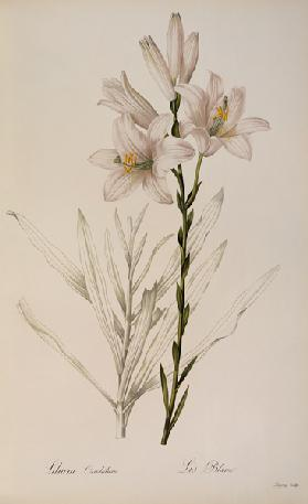 Lilium Candidum, from `Les Liliacees'
