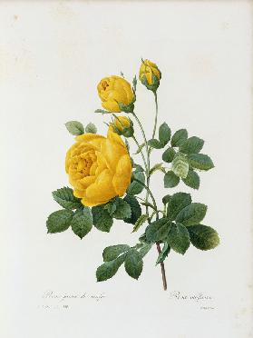 Yellow Rose / / Redouté 1835