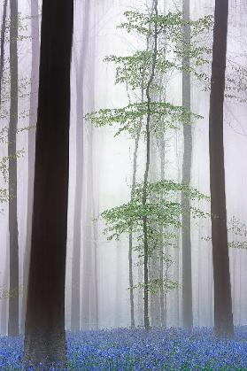 foggy forest ....