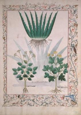 Ms Fr. Fv VI #1 fol.112 Aloe and Apio illustration from 'The Book of Simple Medicines'