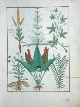 Ms Fr. Fv VI #1 fol.125r Top row: Maize, Equisetum and Labruscae flos. Bottom row: Daisy, Jarus and