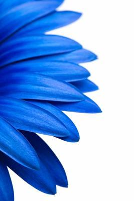 blue daisy isolated on white