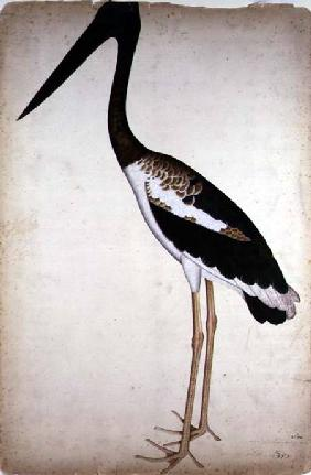 Blacknecked Stork, Xenorhynchus Asiaticus, painted for Lady Impey at Calcutta
