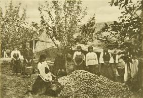 Apple harvest in the estate of Leo Tolstoy Yasnaya Polyana