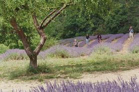 Tree in Lavender Field, in the Grounds of Abbaye Senanque, Provence, France, 1999 (photo)
