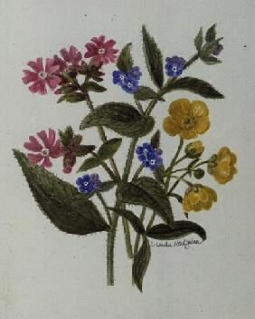 Campion, Alkanet and Buttercup (w/c on paper)