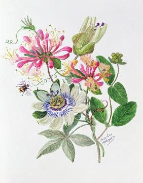 Honeysuckle and Passion flower (w/c on paper)