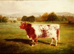 Portrait of a Shorthorn