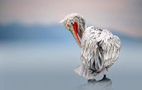 Dalmatian pelican at dawn